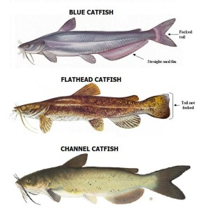 catfish species and habitats Catfish species and habitats CATFISH SPECIES 298x300