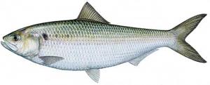 flathead catfish bait flathead catfish bait Flathead Catfish Bait Screen Shot 2017 06 07 at 6